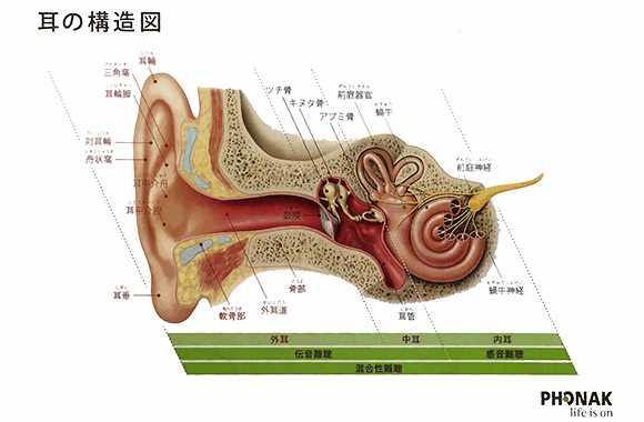 耳の構造図